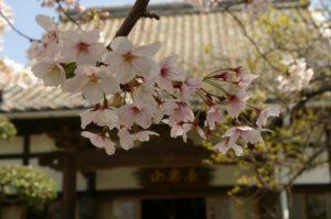 円相寺 桜